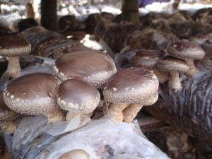 sawdust and mushroom making