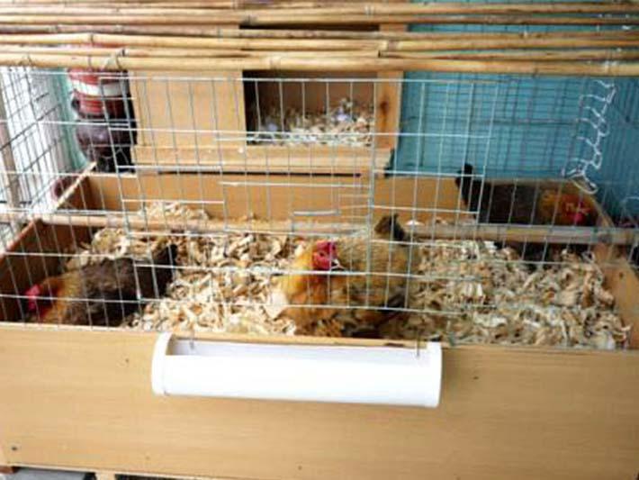 wood shavings for chicken bedding